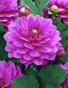 Dahlia 'Karma Lagoon' • Plants & Flowers • 99Roots.com