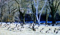 bird, large group of animals, tree, animal themes, nature, animals in the wild, no people, flock of birds, outdoors, beauty in nature, day, cold temperature, snow, water, sky, swan