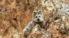 絶滅危惧種のウサギ、発見される 20年ぶり (画像あり)