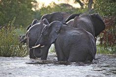#Elephants in Zambia—in African Wildlife Foundation's Kazangula landscape. Photo: Craig Sholley