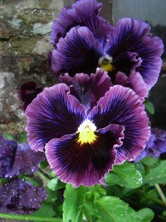 Красивые Цветы, Анютины Глазки, Сады, Мысли, Цветы