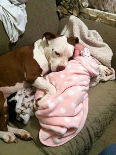 Pit Bulls Love Babies <--- Pit Bulls love everyone, sometimes their caretakers teach them wrong and they are so loyal that they obey