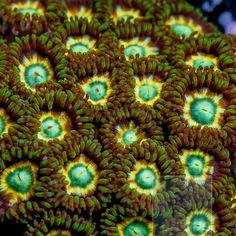 """Zoanthus sp. - """"Green Star"""" Zoanthid  - (Sweet dopeness) Peace :)"""