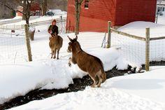 Jon Katz' Photographs of Bedlam Farm Animals   Bedlam Farm Journal