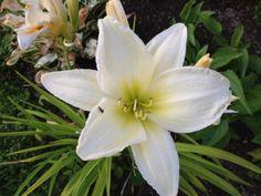 vardagens guldkorn: trädgård Daylily