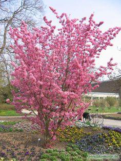Prunus 'Kursar' / Prunus 'Kursar' / Habitus Familie: Rosaceae