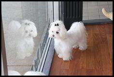 Jett y Callie de nuevos recortes para la fiesta :) - Malta Foro de perros: Spoiled Foros de Malta Shih Tzu, Maltese Haircut, Maltese Dogs, Teacup Maltese, Maltipoo, Havanese Puppies, Dog Rules, Dog Hacks, Dog Coats