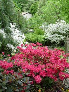 Right after bloom (late spring) is the best time to prune azaleas in central Pennsylvania. Front Garden Path, Garden Paths, Garden Landscaping, Anemones, Ranunculus, When To Prune Azaleas, Beautiful Gardens, Beautiful Flowers, Perennial Gardens