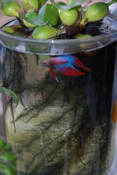 Betta fish care Page 181 Aquascape.jpg gal This would make a great tank for a Siamese Fighting Fish / Betta! BeTTa betta fish plants B. Indoor Water Garden, Backyard Garden Landscape, Small Backyard Gardens, Indoor Plants, Garden Landscaping, Walkway Garden, Tropical Backyard, Large Backyard, Balcony Garden