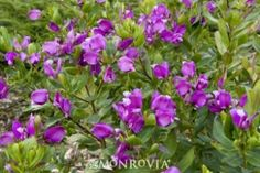 Petite Butterflies Sweet Pea Shrub.  Full sun, low water, 3-5ft tall, 2-4ft spread.  Maybe in the garden, maybe as a border for the lawn