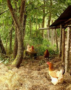 The chickens do most of the work cleaning up the compost o… | Flickr