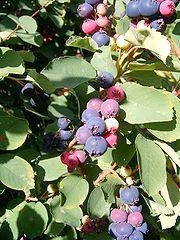 Exploring Permaculture: Specimen Spotlight: Serviceberry