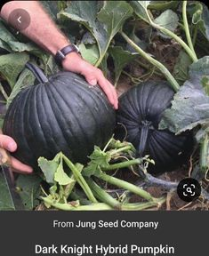 Garden Seeds, Garden Plants, Garden Art, Big Garden, Garden Design, Dark Knight, Pumpkin Varieties, Gothic Garden, Black Garden