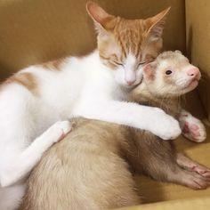 😺「にぃちゃん、おんぶ〜💤」 🐹「無理です」 . . . #おやすみなさい🌙 #もんじゃの迷惑そうな顔(笑) #もんじゃ #はっさく #フェレット #子猫 #猫とフェレット #ferret #cat
