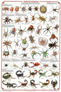 The poster provides a comprehensive overview of the entire class / clade, which includes mites and ticks, spiders, scorpions and other critters. Great for learning more about arachnids. Animals Of The World, Animals And Pets, Insect Identification, Science Chart, Science Area, Spider Species, Nature Posters, Bugs And Insects, Ticks