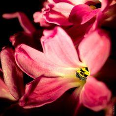 Hyacínthus - Flowers from my desk.