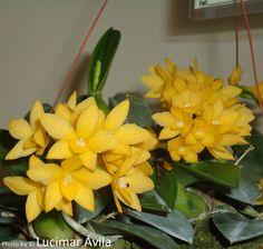 Sophronitis cernua v. amarela 'Mineira'