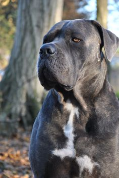 Check out a some of our amazing Featured Cane Corso Breeds we Love! Cane Corso Italian Mastiff, Cane Corso Mastiff, Cane Corso Dog, Most Popular Dog Breeds, Best Dog Breeds, Best Dogs, Chien Cane Corso, Mastiff Breeds, Life Is Ruff