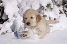 Animali nella neve: cucciolo di GOLDEN RETRIEVER