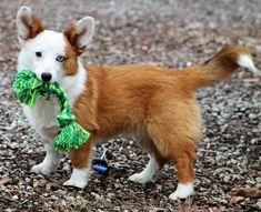 Corgi Dog Breed, Purebred Dogs, Pet Dogs, Dog Breeds, Pets, Corgi Shepherd, Cardigan Welsh Corgi Puppies, Australian Shepherd Dogs, White Dogs