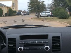 These geese were crossing the road when we arrived at our hotel in Wichita falls, Texas..precious