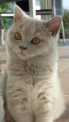 British shorthair cat...with gorgeous brown eyes. You don't see brown eyes on cats very often.