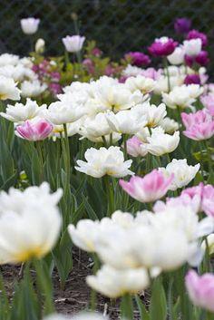 Tulip wonderland - think big when planting them.