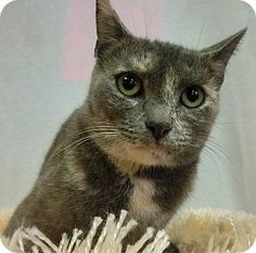 New Cumberland, WV - Domestic Shorthair. Meet DAENERYS, a cat for adoption. Calico Or Dilute Calico Age: Young Sex: Female ID#: C14-10012 Hair: Short http://www.adoptapet.com/pet/11863061-new-cumberland-west-virginia-cat
