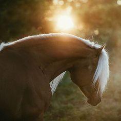 Totally worth 3 hours sleep. That. Light! Haflinger stallion Liz Sternbild 372/T owned by Norbert Rier, Italy, and leased by @ekbackenshaflinger in Sweden. #equinebywengdahl