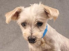 Adopt Davey, a lovely 8 years  9 months Dog available for adoption at Petango.com.  Davey is a Maltese and is available at the National Mill Dog Rescue in Colorado Springs, Co.  www.milldogrescue.org #adoptdontshop  #puppymilldog   #rescue  #adoptyourfriendtoday