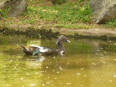 Bird - Duck