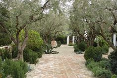 Bricks laid in herinbone and lined antuqued for front courtyard  Our Specimen Olive Trees