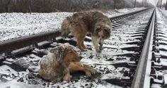 Συγκίνηση προκαλεί η ιστορία φιλίας και αγάπης από τη δυτική Ουκρανία η οποία προέρχεται από το ζωικό βασίλειο. Σύμφωνα με δημοσίευμα του Russia Today, ένας σκύλος έμεινε δύο ημέρες δίπλα στο τραυματισμένο θηλυκό που δεν μπορούσε να απομακρυνθεί από τις παγωμένες σιδηροδρομικές γραμμές. Βίντεο και φωτογραφίες με τους δυο άμοιρους σκύλους δημοσίευσε στο Facebook, o Ντένις Μαλαφέεφ, που τους βρήκε κοντά σε έναν μικρό σιδηροδρομικό σταθμό όχι μακριά από την πόλη του Ούζγκοροντ, στη Δυτική…