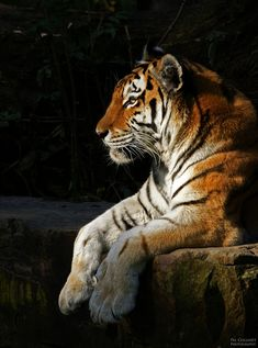 Animals And Pets, Funny Animals, Cute Animals, Beautiful Cats, Animals Beautiful, Endangered Tigers, Tiger Art, Fauna, Lynx