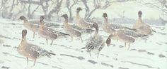 James McCallum/Geese in snow