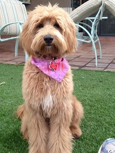Grooming needs of the Labradoodle   petocracy
