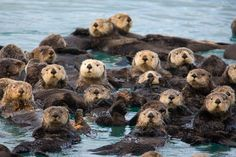 Sea Otter | Endangered Animals Facts, Wildlife Pictures And Videos
