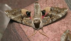 Eyeball with Wings | ... wings fully, exposing the fairly gaudy eyespots on their hindwings