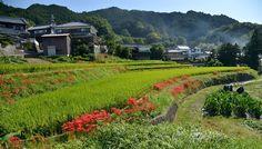 Japaninfo added 17 new photos to the album: นาขั้นบันไดกับดอก Higanbana@Asuka-mura/Nara — at 稲渕棚田.