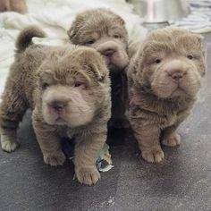 We are proud to announce the arrival of a new litter of adorable Shar-Pei puppies. We have available:- 1 miniature isabella brush coat girl - £1500 1 miniature isabella brush coat boy - £1500 1 lilac brush coat boy - £1000 1 miniature platinum brush coat girl - £1500 1 lilac bear coat boy - SOLD 2 lilac bear coat girls - £2000 each (this is due to the huge interest we've had over the last 6 months from around the world and they will sell at this price - please don't ask for a discount...