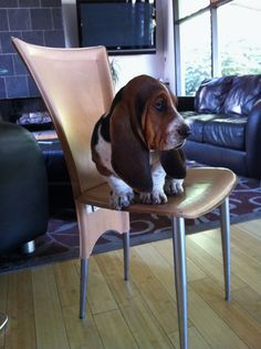 I love everything about Basset Hounds.