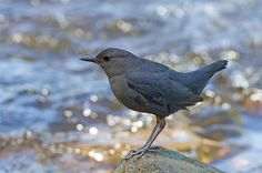 Dipper! Fun to watch them feeding, walking in the water, sticking their head under water or walking under water!