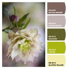 Helleborus - hele mooie tinten