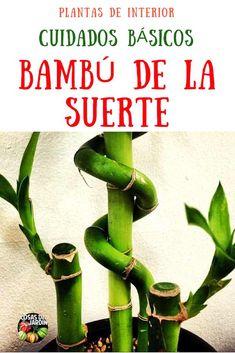 Cuales son los cuidados principales del bambú de la suerte temperatura, riego, luz, sustrato, fertilizacion #Jardín #Jardinería #Huerto #Huertourbano #Cultivar #Plantas