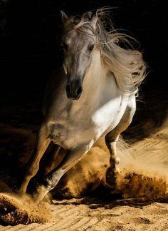 A beautiful horse photo by Wojtek Kwiatkowski. Beautiful Arabian Horses, Majestic Horse, Horse Photos, Horse Pictures, Horse Dance, Indian Horses, Photo Animaliere, Horse Artwork, Horse Drawings