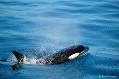 Kenai Fjords National Park   Kenai Fjords National Park pics ....-killer-whale.jpg