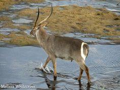 Male Waterbuck, Letaba, Kruger National Park