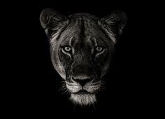 Lioness Portrait by Ed Hetherington on 500px