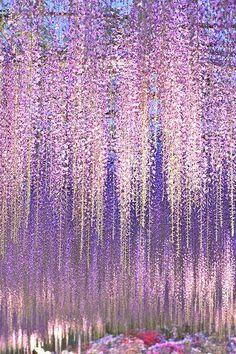 紫の藤のシャワーに感動。 身体の芯から、シャワーがかかり 香りが、心地よく届く。