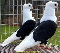 Fancy Pigeons - we raised these when I was a kid. Very loving birds!